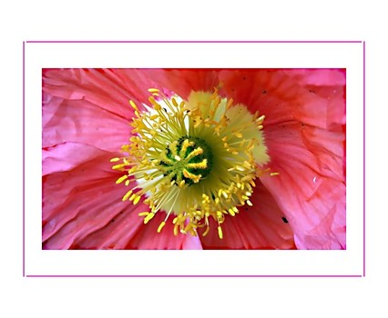 __rose-pink__