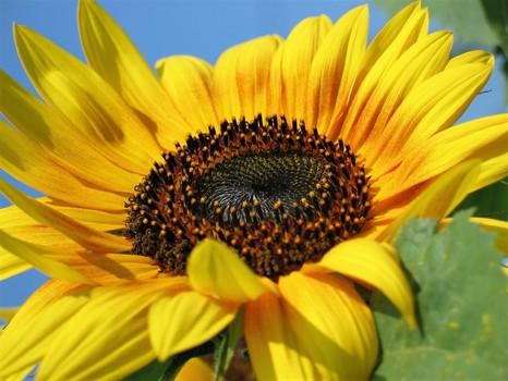 Eine Sonnenblume zum Sommerbeginn...!