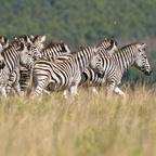 Afrika #5 - Zebras