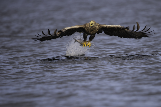 Seeadler in Action