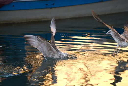 Möwe3 - Streit um eine Krabbe