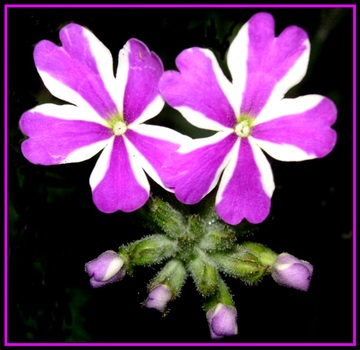 """ Austriana"" - Blume"