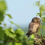 Steinkauz (Athene noctua) Jungvogel (2)