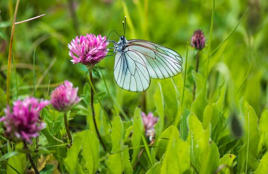 Es gibt zwar schönere Schmetterlinge