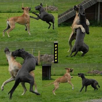 Doggen (die Aufforderung zum Tanz bis zum Tanz)