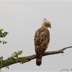 Ceylon-Haubenadler