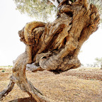 Unsterblicher Olivenbaum , BARI