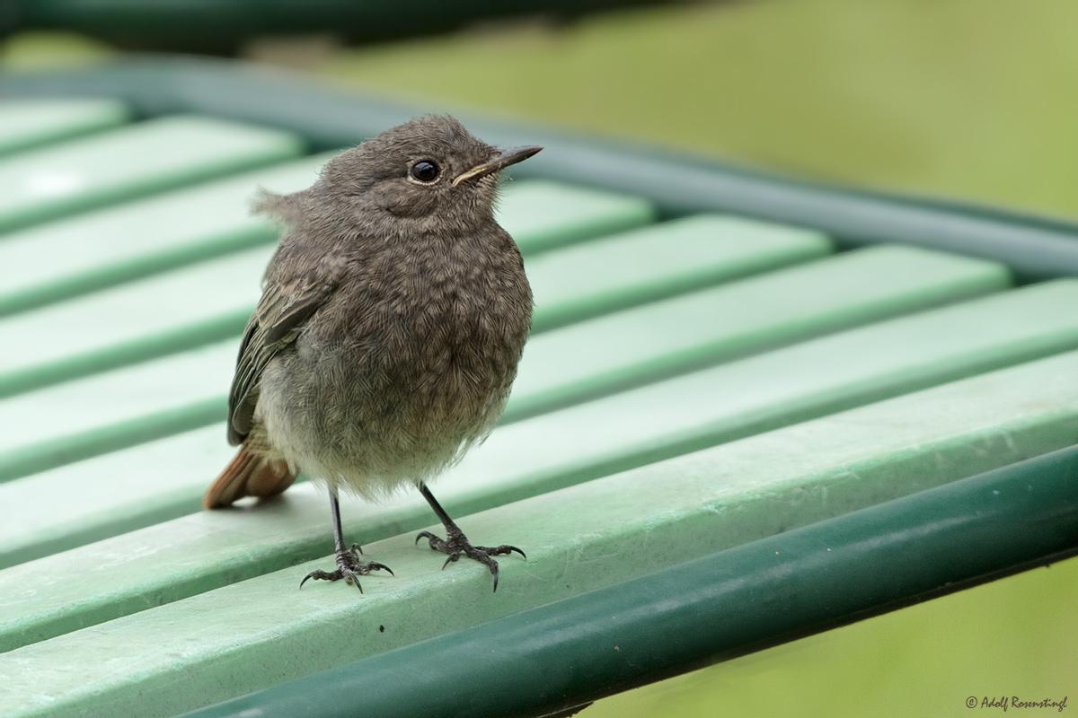 Gartenrotschwanz (Phoenicurus hodgsoni) Jungvogel