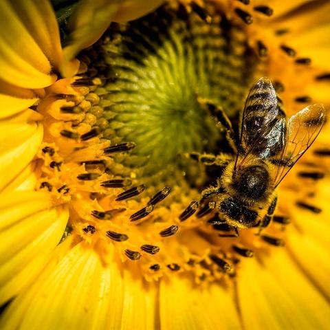 die Biene auf der Sonnenblume