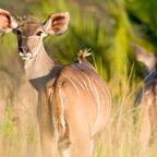 Afrika #4 - Kudu Dame