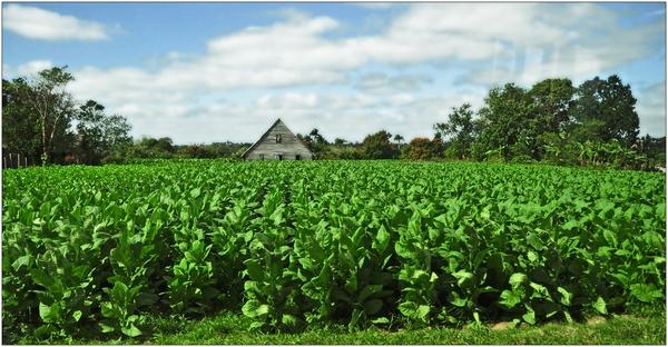 Kuba, Pinar del Río, Tabak