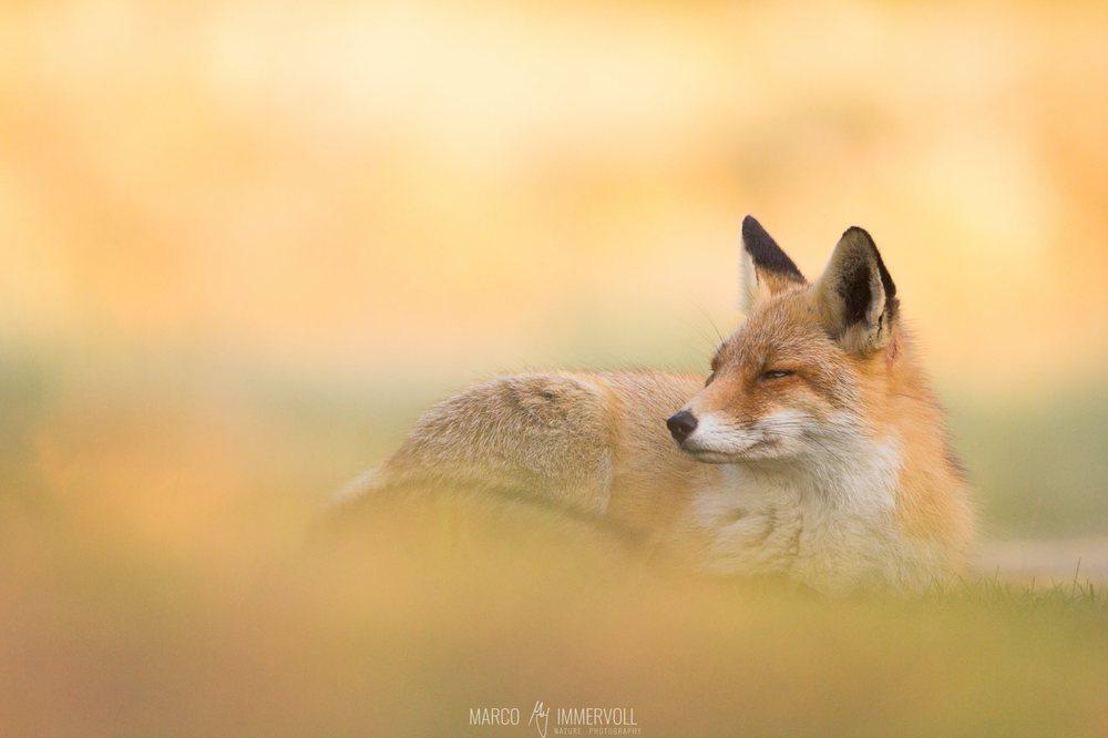 Chilling Fox