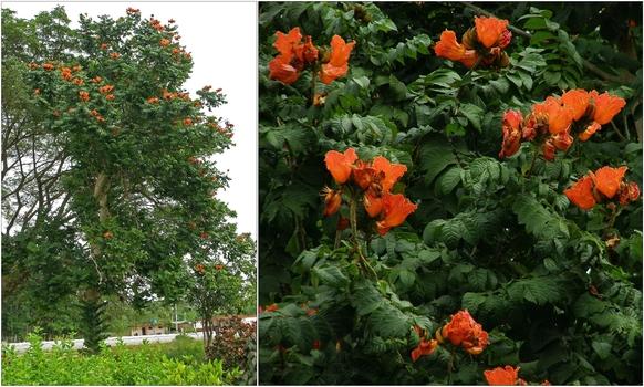 Kuba, Tulpenbaum