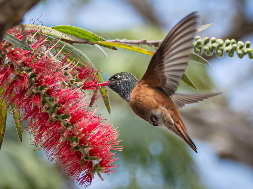 Kolibri in Lima