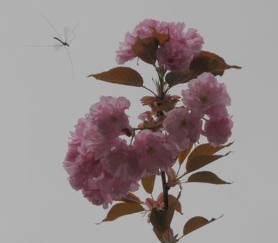 Japanische Kirschblüten mit Besuch