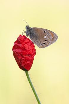 Rotbraunes Wiesenvögelchen auf Mohnblume