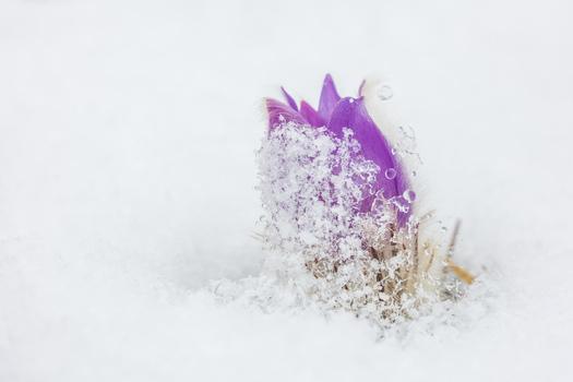 Kuhschelle im Schnee