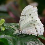 Weißer Morphofalter