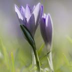 Erster Frühlingsbote