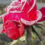 Erster Reif auf den letzten Rosen