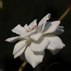 Noch blüht diese Rose.....