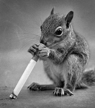 Rauchhörnchen