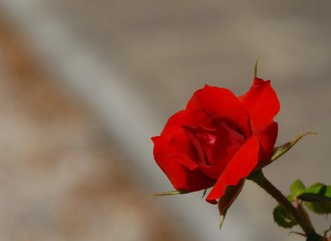 toskanische Rose