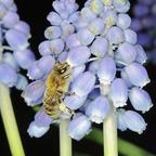 Honigbiene auf Traubenhyazinthe