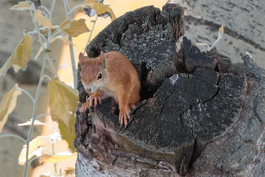 Eichhörnchen Schnappschuss 2