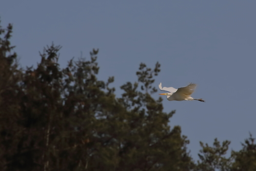 silberreiher im Anflug