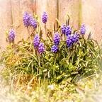 Traubenhyazinthen - unsere Gartenwelt II