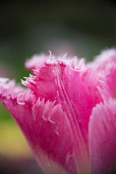 Tulpe im Park Bad Isschl