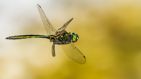 Glänzende Smaragdlibelle im Flug
