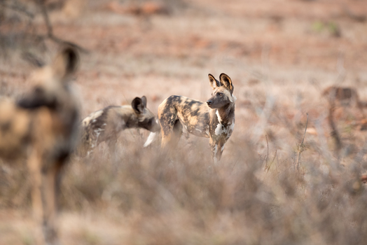 Wildhunde im Kruger Nationalpark