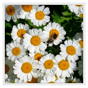 Gartenmargeriten mit Biene