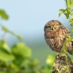 Steinkauz (Athene noctua) Jungvogel (4)