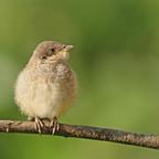 Junger Neuntöter (Lanius collurio) oder Rotrückenwürger