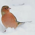 Buchfink (Fringilla coelebs)  ♀