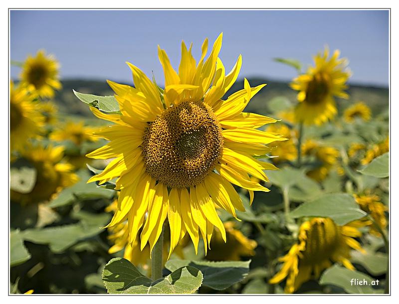Sonnenblume was sonst