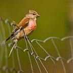 Bluthänfling - Männchen(Carduelis cannabina)