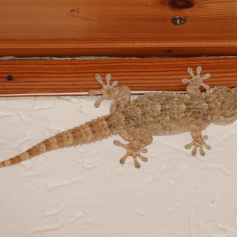 Gecko ...
