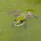 Hallo Frosch