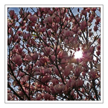Magnolienblüten im Gegenlicht