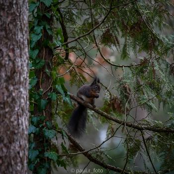 Eichhörnchen isst Nüsse