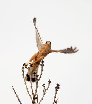 Falco(n) beim Abflug