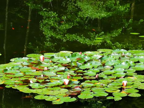Seerosen im Naturbiotop im Wald