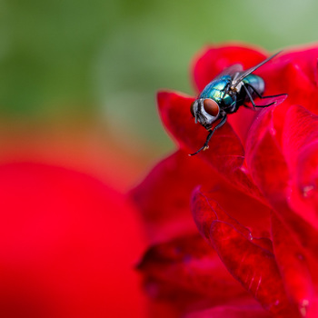 Goldfliege auf einer Rose