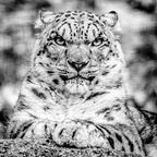 Schneeleopard im Zoo Salzburg