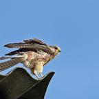 Turmfalke (Falco tinnunculus) Weiblich
