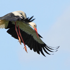 Weißstorch (Ciconia ciconia) bei der Landung
